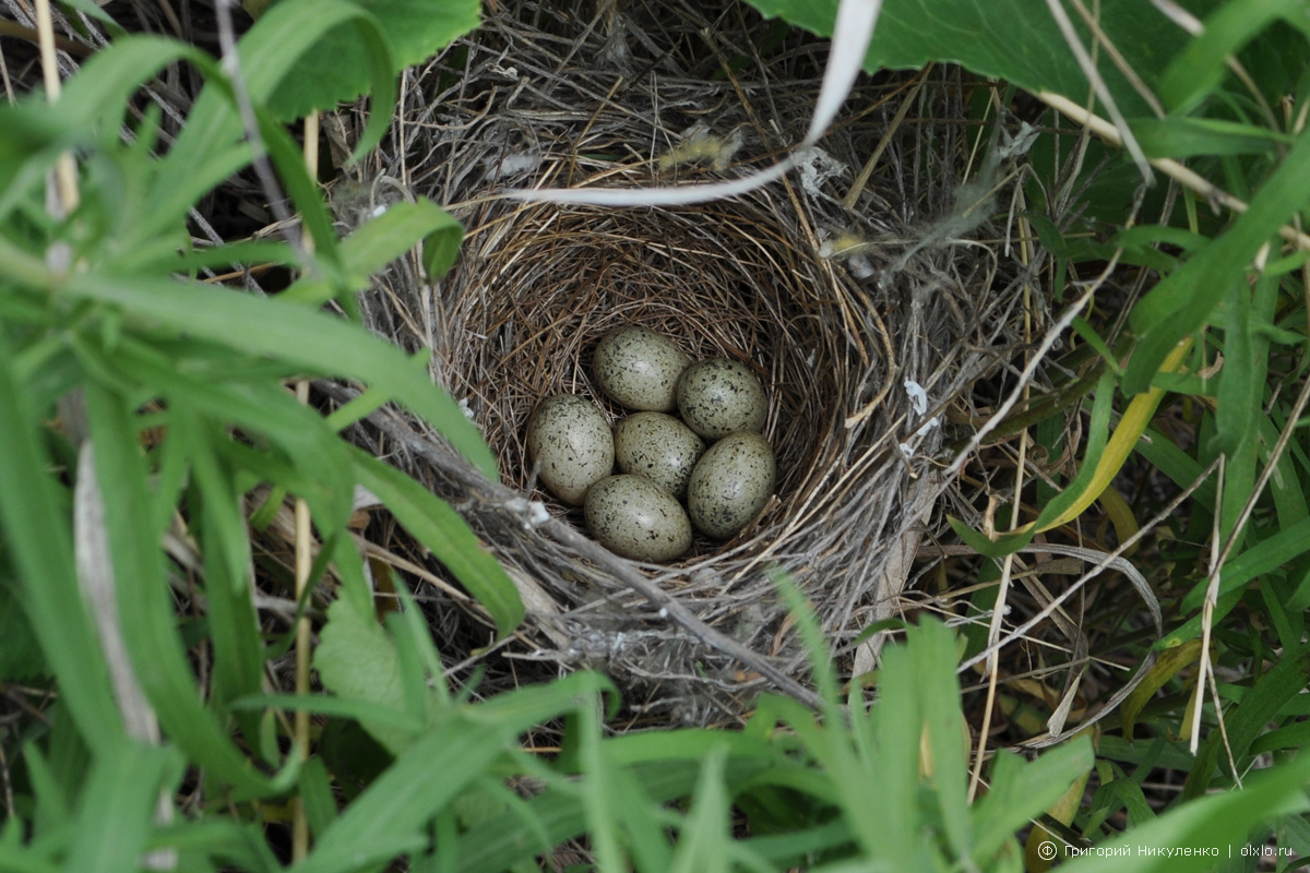 птицы фото гнездятся в траве использованием своего служебного